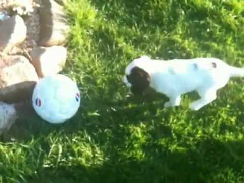 Cute Puppy Chasing A Ball