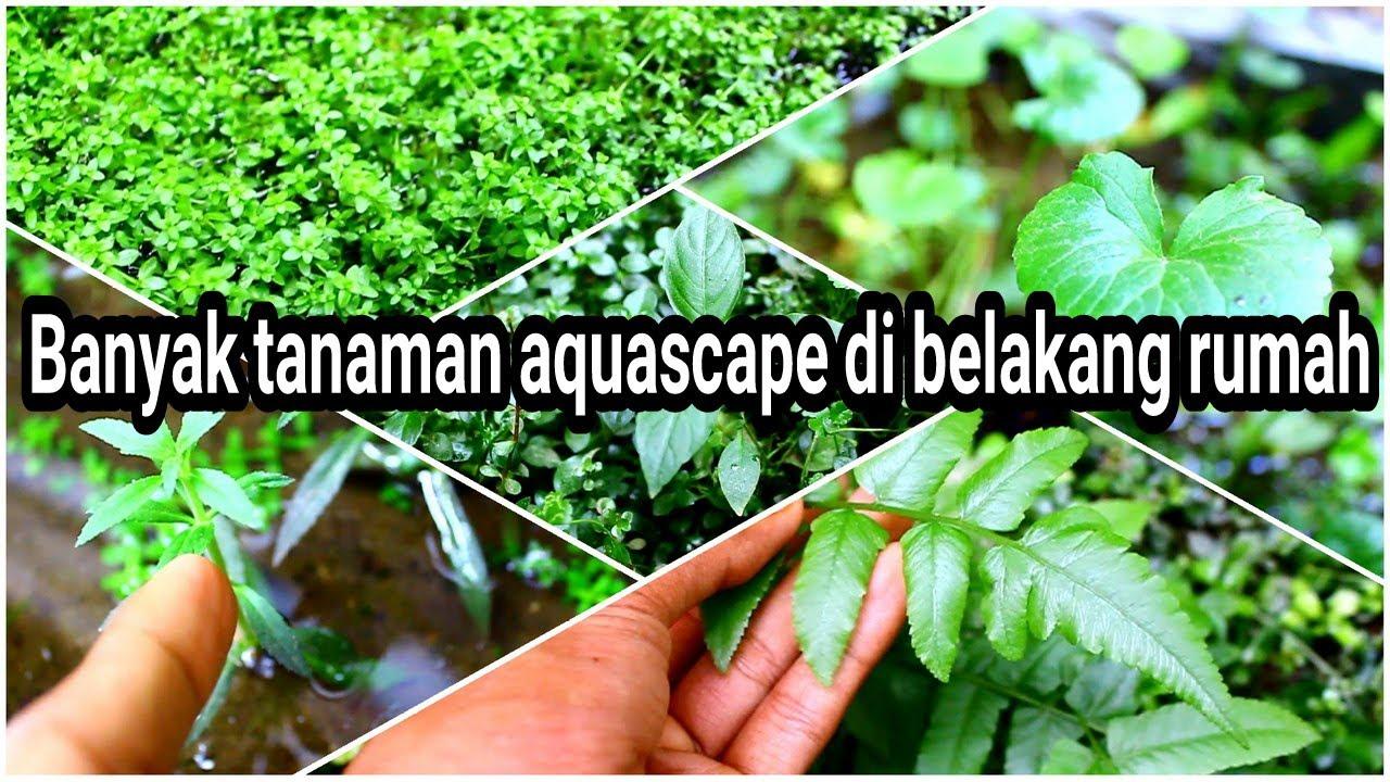 Ada banyak tanaman aquascape di belakang rumah, ayo kita ...