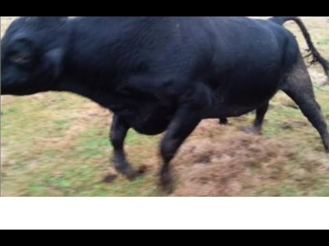 Bovine Gone Wild...Staring the Big Bad Bull
