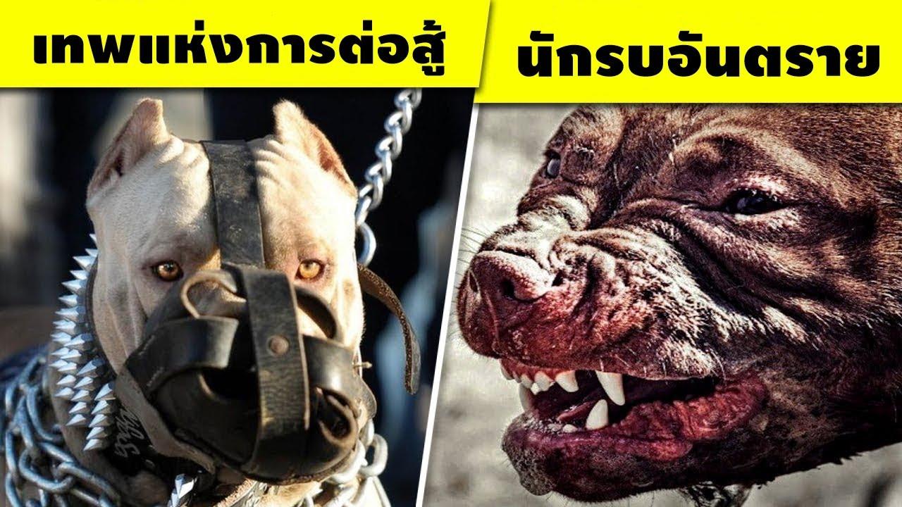 10 สายพันธุ์สุนัขที่คุณไม่ควรไปล้อเล่นกับพวกมัน..โหดจัด!