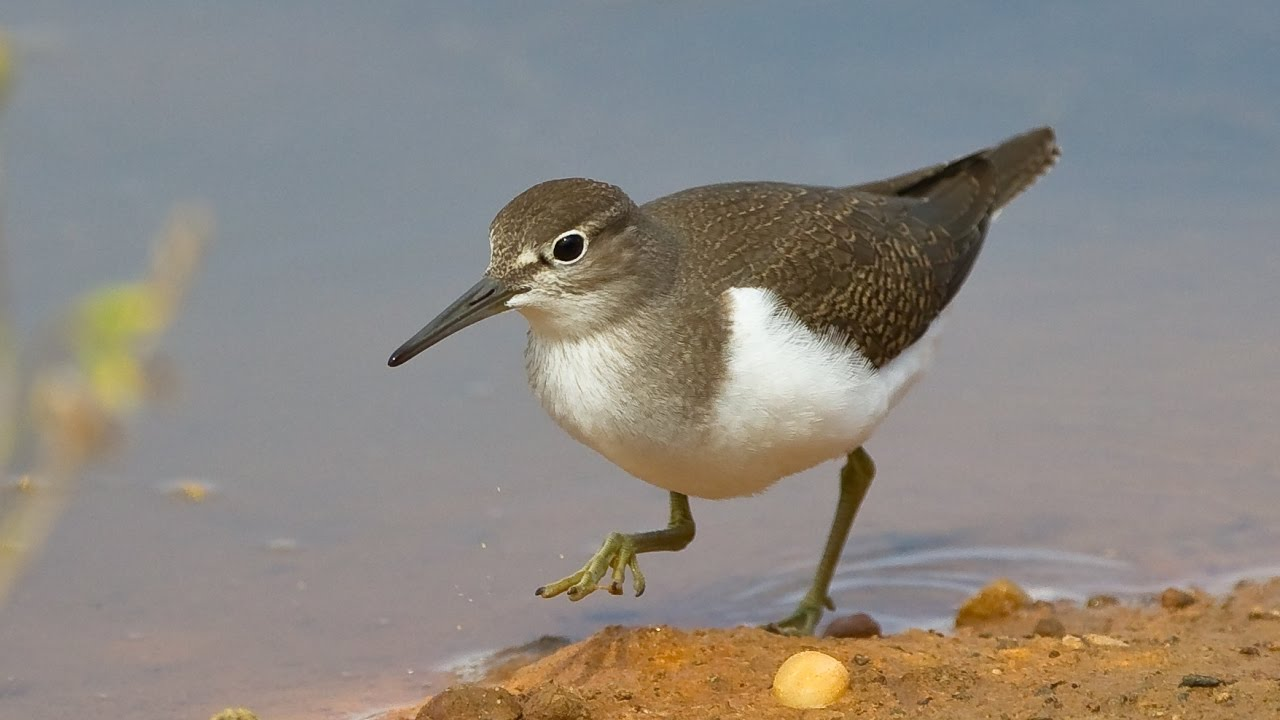 video of the common sandpiper actitis hypoleucos finding food at