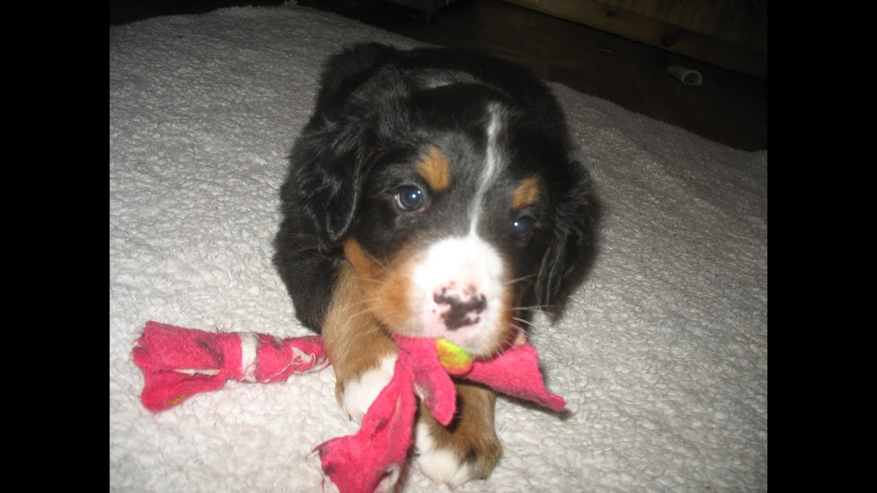 Newborn To 8 Weeks In 1 Minute Female Bernese Mountain