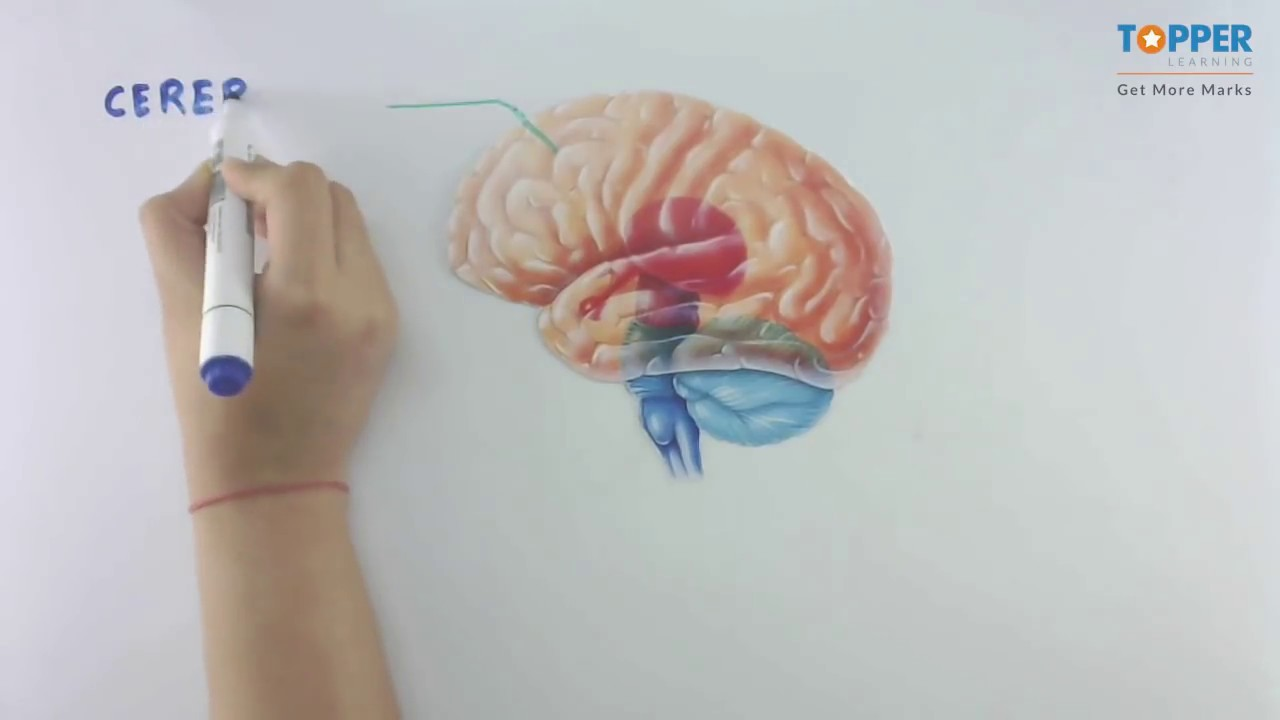 Structure Of Brain Cbse Class 10 Biology Youtube