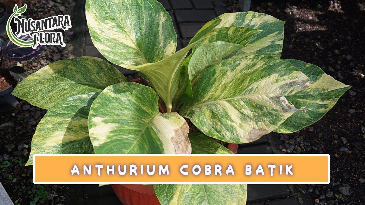 ANTHURIUM COBTIK ( Cobra Batik) #tanamanhias #anthurium #vlog2020