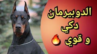 Doberman chien trés intelligent الدوبيرمان كلب دكي و شرس 👍🏼🔥💪🏼🐶
