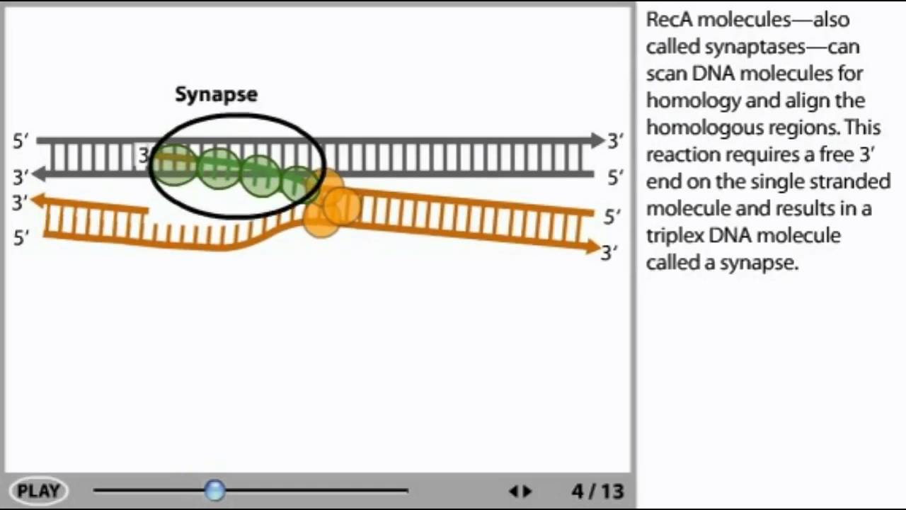 dna recombination animation