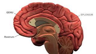 Cerebral white matter tracts