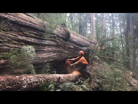 Falling and Bucking a large cedar
