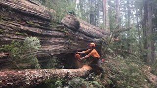 Falling and Bucking a large cedar