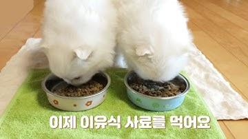 이유식 사료 처음 먹는 다다나무 / 아기 포메라니안