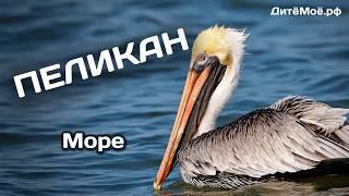 Пеликан. Энциклопедия для детей про животных. Море