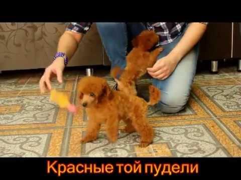Купить в москве мини той-пудель абрикосовая девочка собаки в москва россия — от питомник пуделей тверская гамма, ооо в каталоге allbiz!