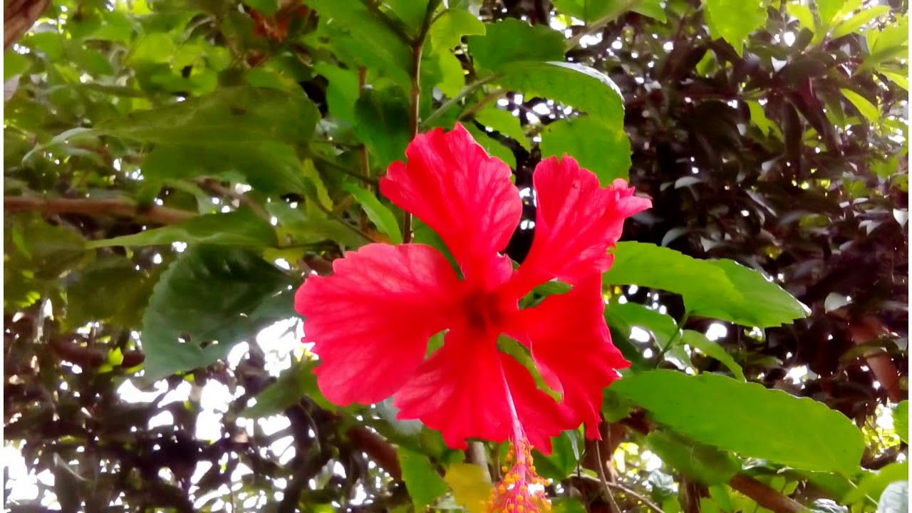 Hibiscus rosa sinensis known colloquially as chinese hibiscus hibiscus rosa sinensis known colloquially as chinese hibiscus flower izmirmasajfo
