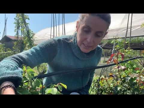 Coccinelle per lotta biologica agli afidi