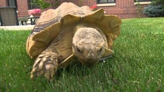 WSU Veterinarians replace tortoise leg with a wheel