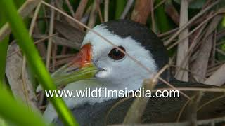 Jal murghi sits on her eggs, in a neat nest among water plants in a wildfilmsindia wetland in Delhi