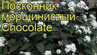 Посконник морщинистый Шоколад. Краткий обзор, описание характеристик eupatorium rugosa Chocolate