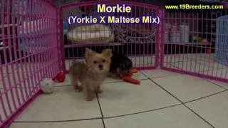 Morkie,Puppies, For, Sale, In, Anchorage, Alaska,AK, Fairbanks, Juneau, Eagle River
