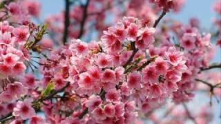 "There are so many ""Sakura"" songs in Japan. 怒涛の「さくら」ラッシュ..."