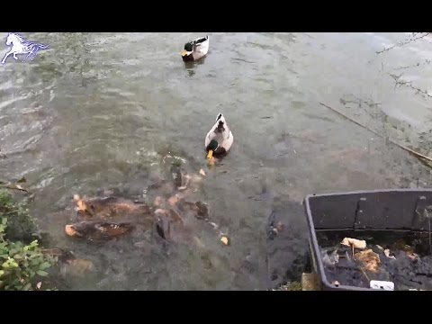 Feeding Bread to Fish and Duck in Papworth Hospital, United Kingdom