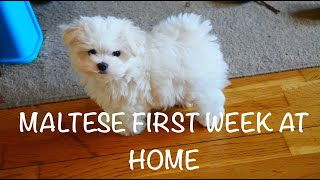 MALTESE PUPPY FIRST WEEK AT NEW HOME