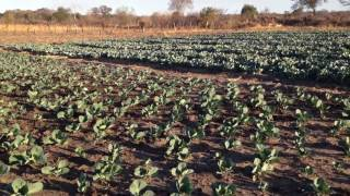 Growing cabbage in Zimbabwe small farmers