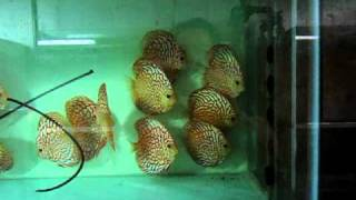 S.G.Discus お取り置き水槽2:Reserved Discus 2 for Ciaociao@S.G.Discus thumbnail