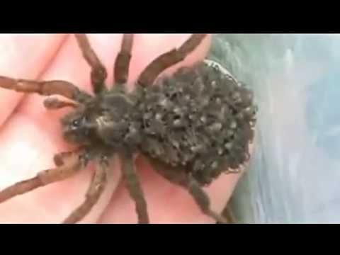 Самка паука с детишками на спине