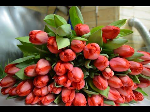 Выгонка тюльпанов на 8 Марта (2019-2020г.Срез )