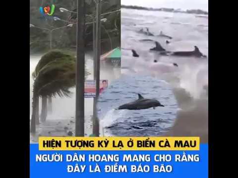 Chuyện lạ ở Cà Mau ! Hơn trăm con cá heo bơi vào bờ trước bão Tembin
