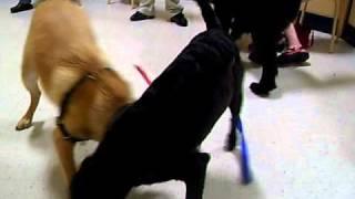 Golden Retriever Labrador Mix Plays With Another Golden Retriever Labrador Mix