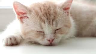 Мурлыканье звук  мурчание кошки слушать // 10 часов // 3D ЗВУК