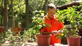 Gardening Tips : Planting Hibiscus
