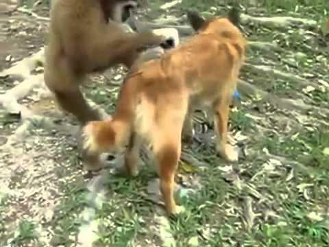 komik hayvanlar maymun ve k  pek  monkey & the dog