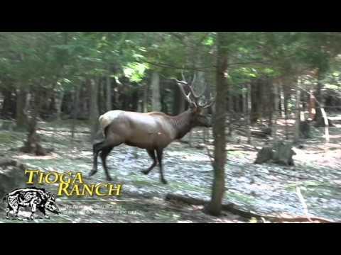 Bull Elk Hunting In PA - Bow Kill | Tioga Ranch