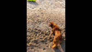 Download Video tanner dachshund epic fight with feather.... funny MP3 3GP MP4