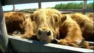 Le boeuf Highland - Ferme Highland Lotbinière