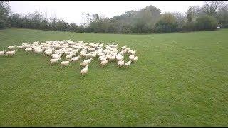 A la rencontre de l'agneau de lait des Pyrénées