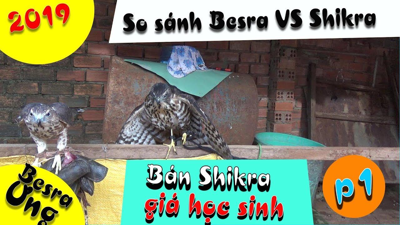 [Tuấn Hùng]- So sanh Shikra và Besra, bán Shikra. || shikra hawk.