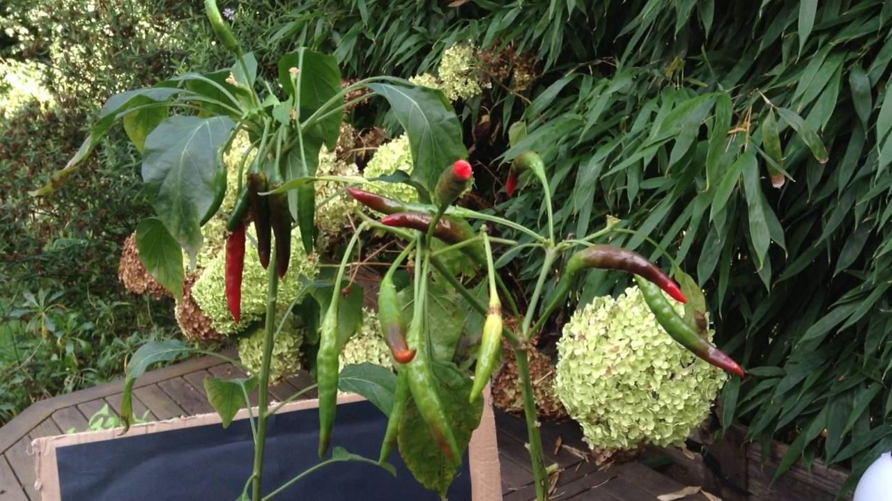 R colte des piments de cayenne bio rouge plant s en pot en int rieur ext rieur et bilan de - Piment de cayenne culture ...