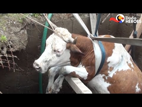 Guys Do The Sweetest Thing For A Trapped Cow | The Dodo