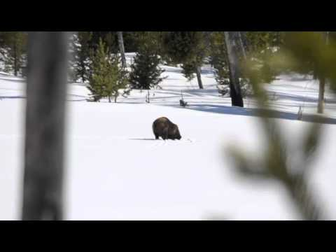 Yellowstone Grizzly Bear Playing In Snow