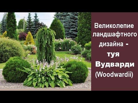 🏡 Великолепие ландшафтного дизайна - туя Вудварди (Woodwardii)