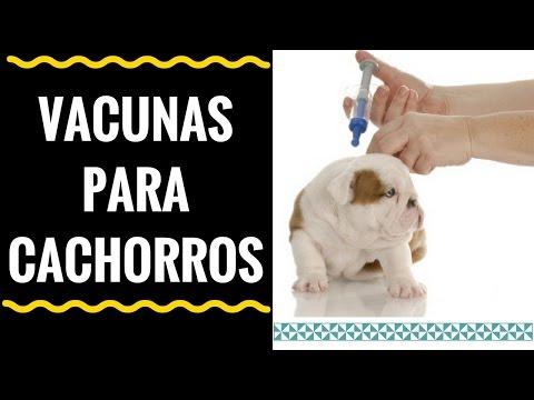 Vacunas Para Cachorros 3 Opciones Ideales