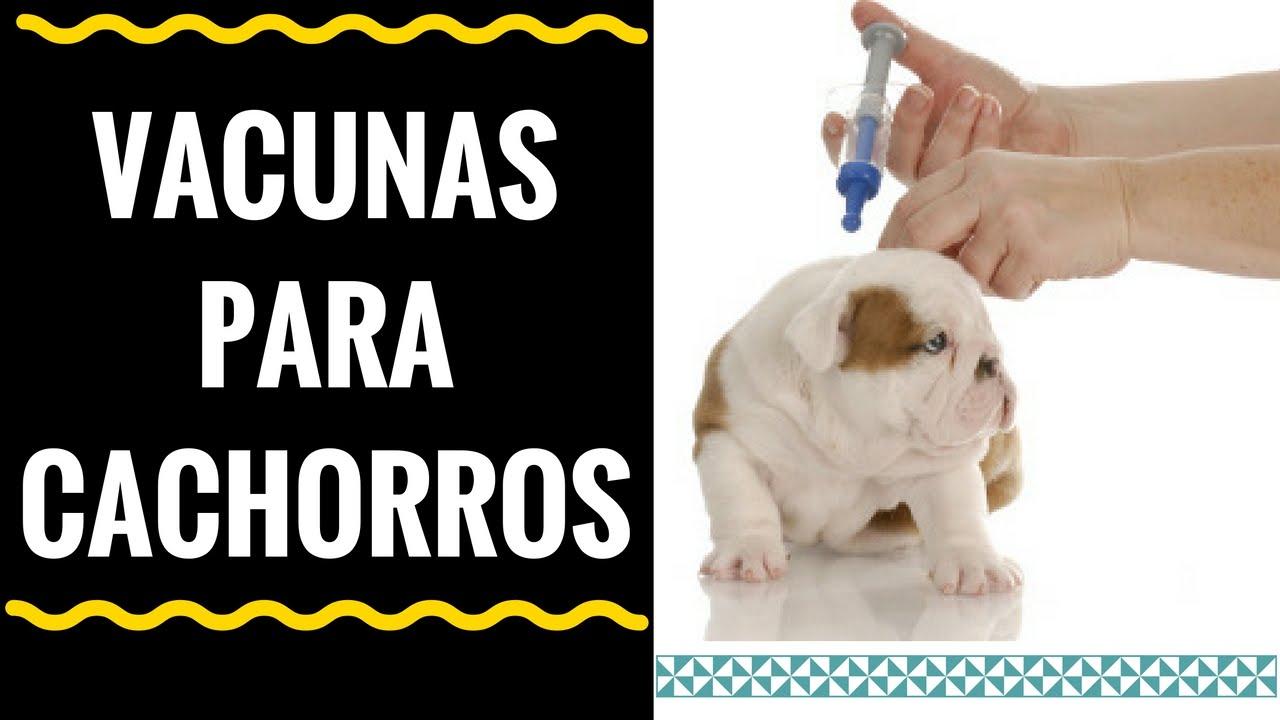 Vacunas Para Gatos Gratis
