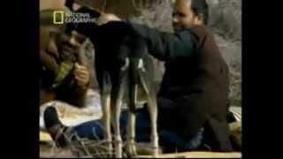 The Saluki hunting documentary