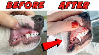 How to Correct Dog's Teeth at Home: Bull Terrier and other Breeds