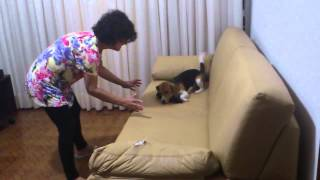 Crazy Beagle Jumping