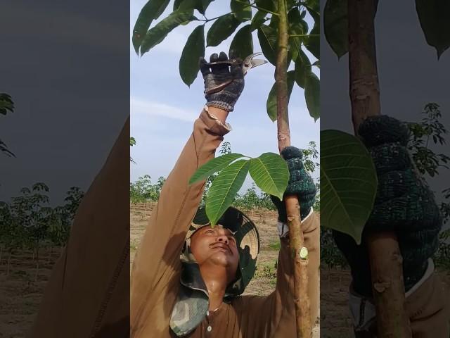 Cara Pruning pokok getah # 1