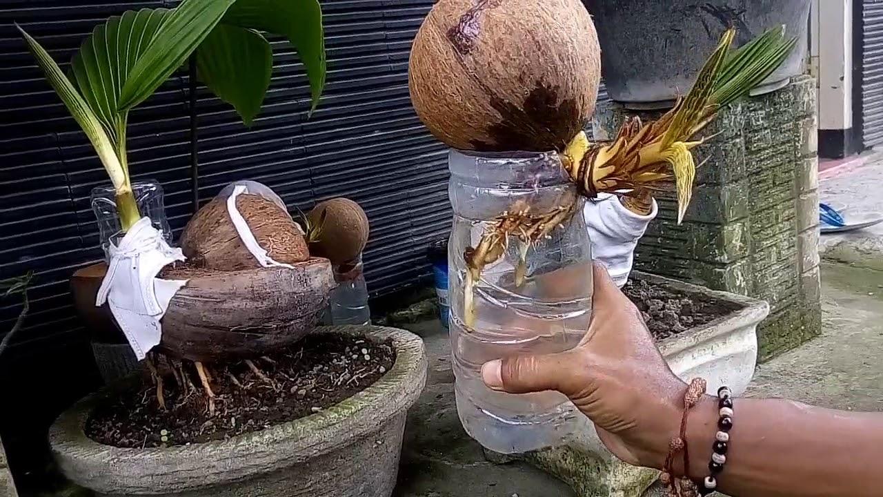 Bonsai Kelapa Cara Mengatasi Batok Yang Pecah By Rubika Setiya